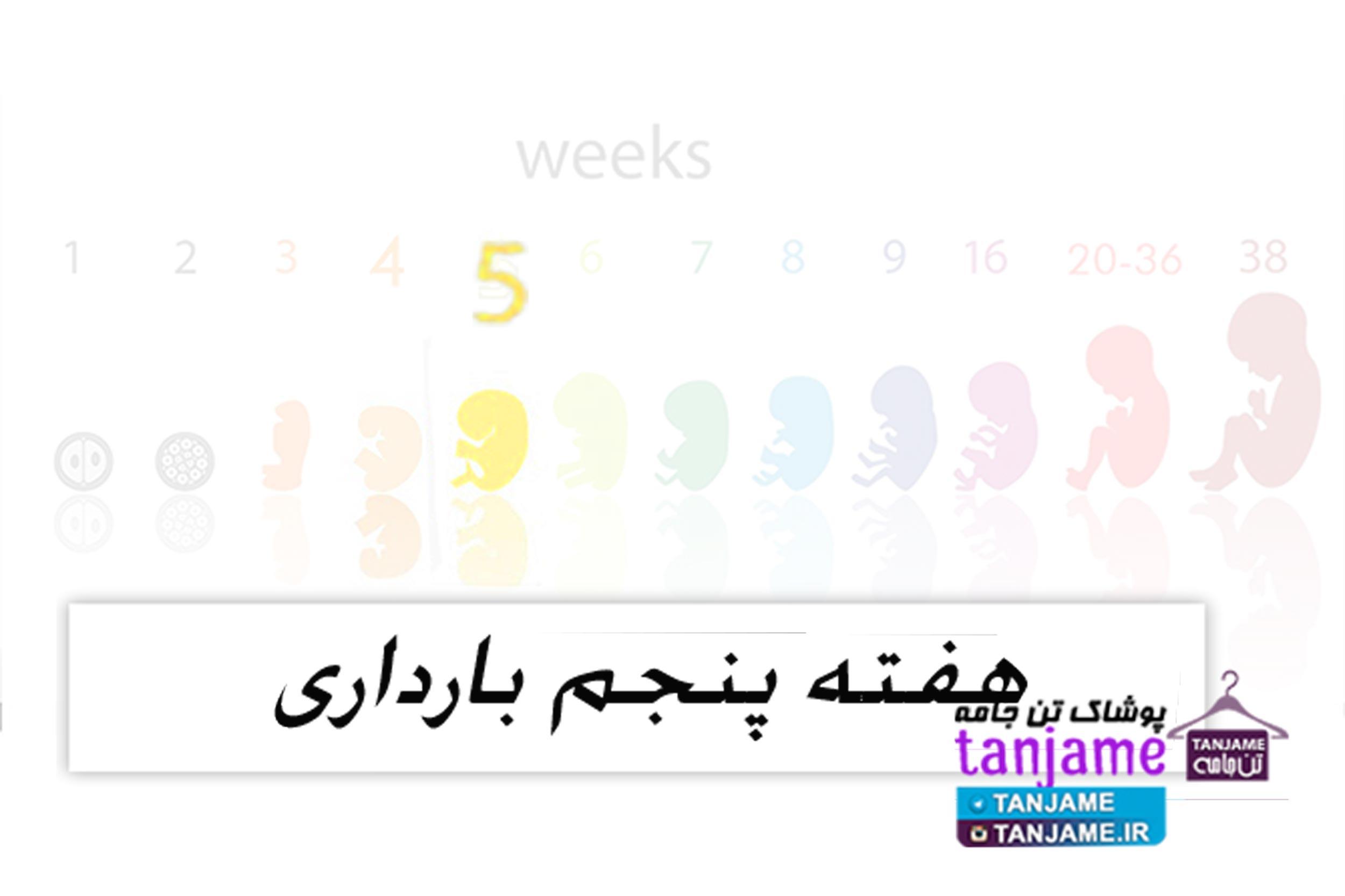 هفته پنجم بارداری